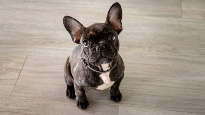 fransk bulldog smuglet