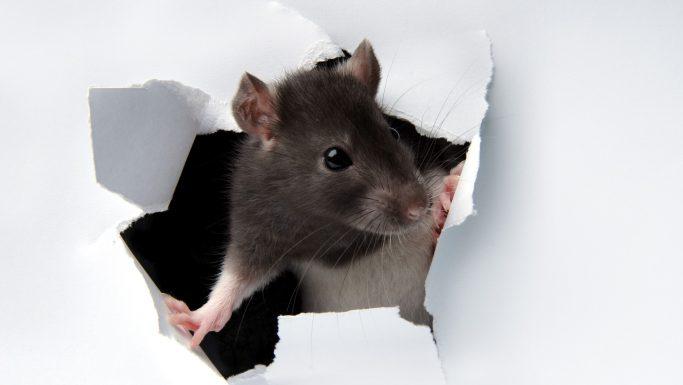 Rotter i hjemmet